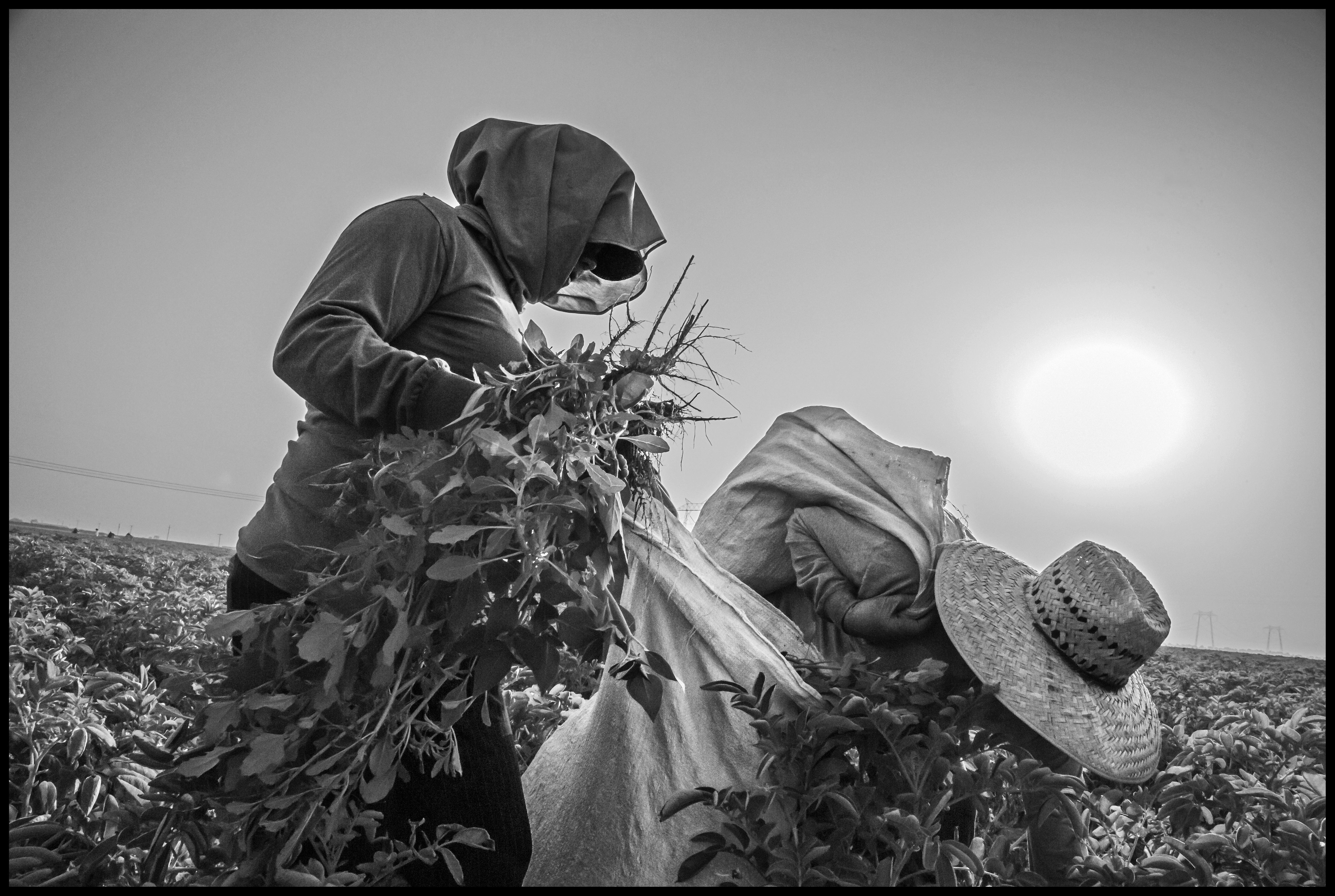 ARVIN, CA - Two farm workers pull weeds in a field of organic potatoes. By mid-afternoon the temperature is over 100 degrees. Workers wear layers of clothes as insulation against the heat.
