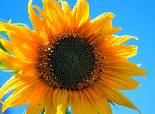 Survival and Generosity: Lessons from Sunflowers