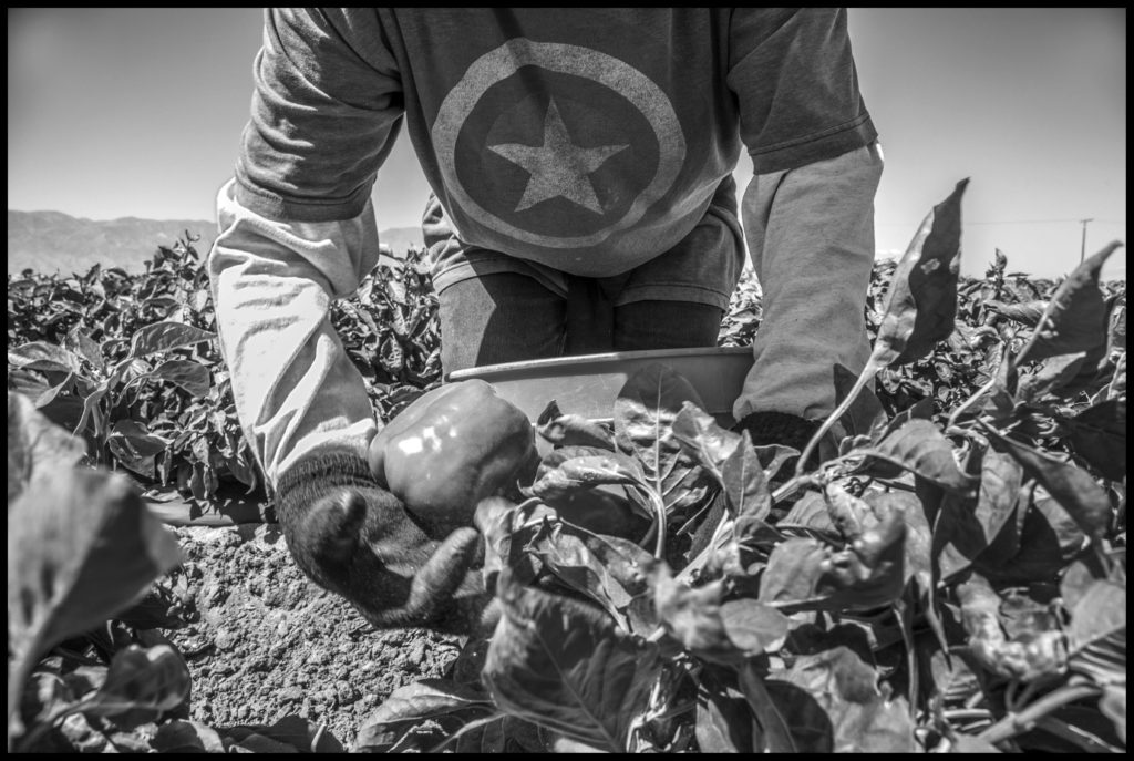 Farm Workers Pick Bell Peppers in a Coachella Valley Field
